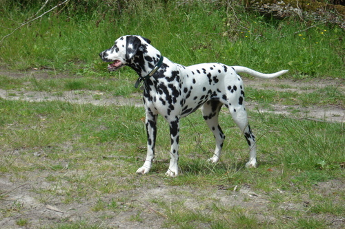Wendy (Stocklore Forrest Windsong)  Dalmatien Lua