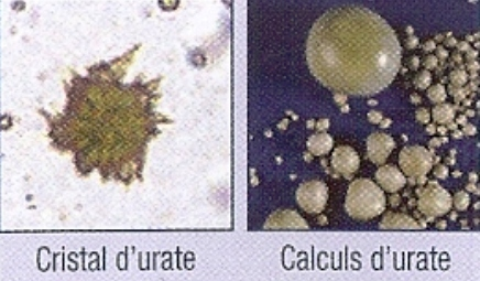 Excrétion urinaire de l'acide urique chez le Dalmatien.